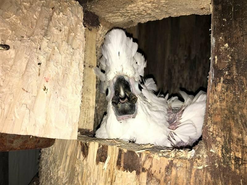 Kakadu bílý v hnízdní dutině.