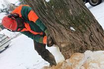 Dřevorubci se měli do kácení pustit už v úterý, ale zabránila jim v tom nečekaná sněhová nadílka. Práce se tedy naplno rozjely až ve čvrtek. Po skácení několika prvních stromů bylo i pro laické oko zřejmé, v jak špatném stavu některé z nich jsou.