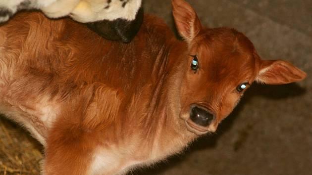 Ve vyškovském zooparku přivítali v lednu samečka afrického plemene skotu zebu zakrslý.