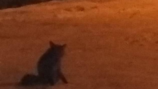 Liška potulující se v okolí vlakového nádraží.