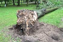 Obnovu vyškovského parku Smetanovy sady před lety spustily dvě spadlé lípy. Podle odborníků jim úplně chyběl kořenový systém.