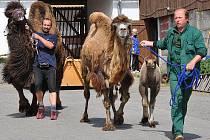 Do vyškovského zooparku dorazili tento týden tři noví velbloudi.