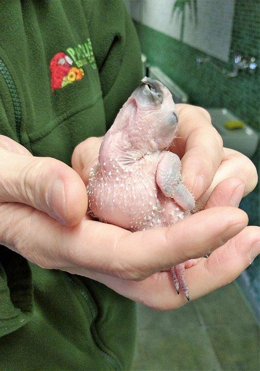Řadou úspěšných odchovů papoušků se už letos chlubí v bošovické zoo. Foto: Papouščí zoologická zahrada