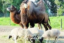 Vyškovský zoopark chová dva velbloudy dvouhrbé neboli drabaře. Pro návštěvníky patří k nepřehlédnutelným a nejvděčnějším zvířatům v této zoologické zahradě.