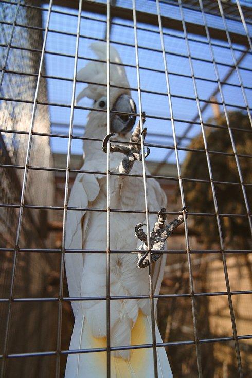 Kakadu. Papouščí zoo v Bošovicích na Vyškovsku, jaro 2021.