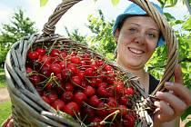 Na Vyškovsku sladké červené plody prakticky nikdo nevykupuje. Pěstitelé je musejí zpracovat sami. Letos je mimořádná úroda, takže se vyplátí pálit kořalku.