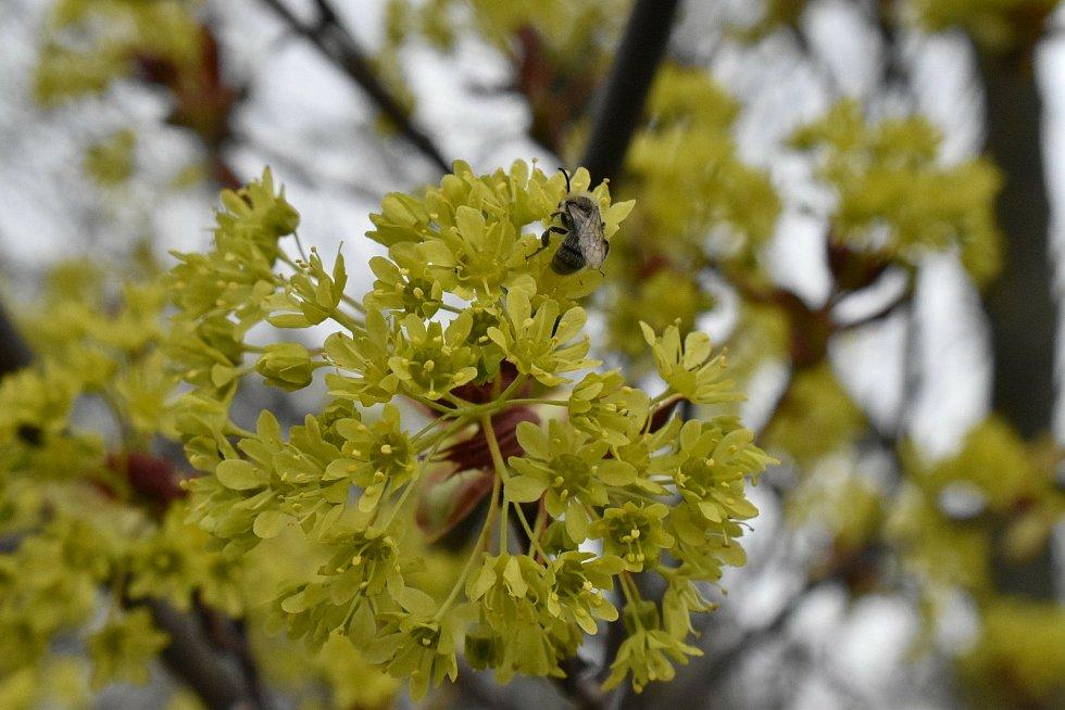 Příroda v Letonicích začíná zářit barvami. Stejně tak i prvosenky na zahrádce.