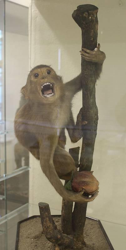 """Výstava """"Kulturní projevy v živočišné říši aneb umí lidoopi kreslit?"""" potrvá v bučovickém muzeu až do jednadvacátého listopadu."""
