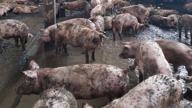 Ve velmi špatných podmínkách našli zaměstnanci státní veterinární správy téměř osm set prasat v areálu bývalého JZD v Křižanovicích u Bučovic.