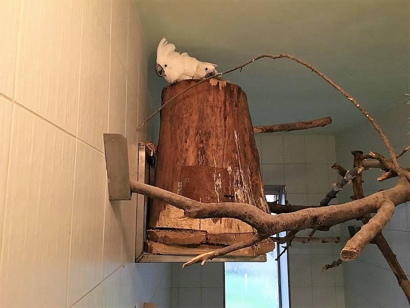 Mládě kakadu bílého s matkou.
