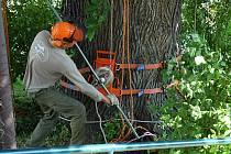 Památný strom u kostela svatého Mikuláše, jehož stáří se odhaduje na sto šedesát let, se v pondělí dopoledne dočkal odborného ošetření.