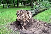 Na první pohled zdravé stromy mohou mít uhnilé kořeny. Ty potom pádem ohrožují kolemjdoucí.