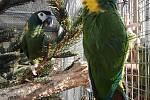 Prvoodchovem ara zelenokrkého se v zoo pochlubili až v dubnu.