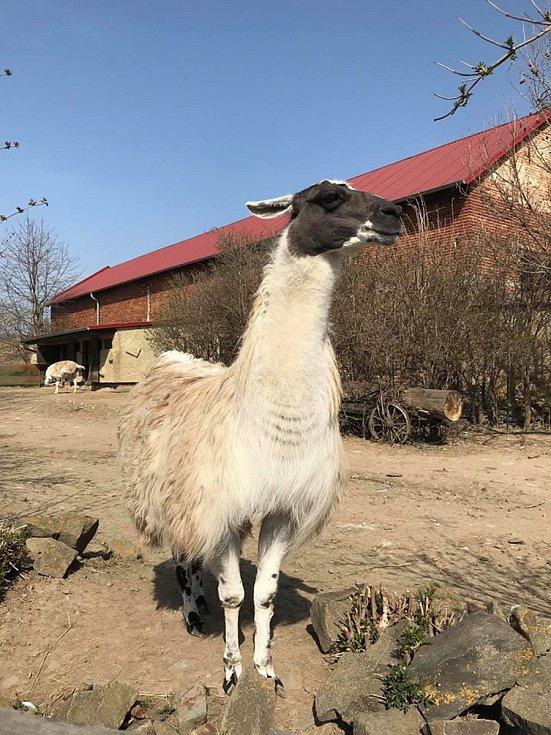 Živo je také ve výběhu zvířat, která pocházejí z jižní Ameriky.  K vidění josu zde lamy krotké z Peru a společnost jim dělá nandu pampový, který je zapsaný  v Červené knize IUCN jako částečně ohrožený druh.