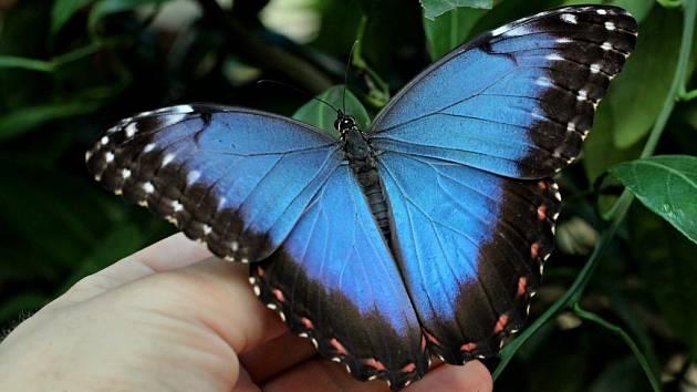 Zářivý motýl Morpho peleides je jedním z druhů chovaných ve skleníku v Hukvaldech.