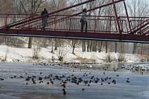 Lidé pozorují kachny na zamrzlé řece Ostravici.