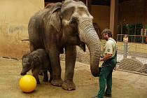 Malá sloní samička má novou hračku.