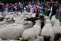 V Košařiskách v sobotu 16. května proběhla tradiční akce s jarmarkem. gorolskou muzikou a vyháněním ovcí na salaš.
