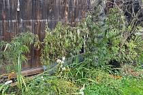 Pěstované konopí. Ilustrační foto.