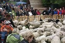 Jarní slavnost vyhánění ovcí na pastu – Miyszani lowiec.