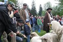 Košařiska v sobotu hostila jarní slavnost vyhánění ovcí na pastu – Miyszani lowiec.