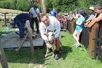 Na Opálené se v sobotu stříhaly ovečky novozélandským stylem.
