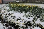 I květinové záhony ve Frýdku-Místku přikryla ve středu 19. dubna sněhová pokrývka