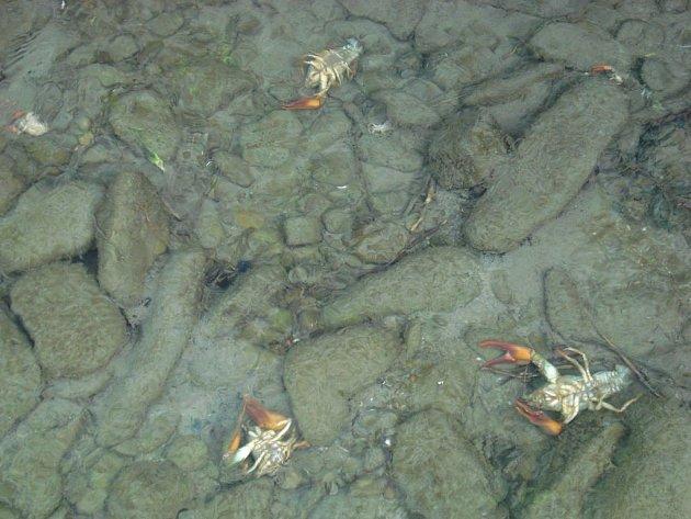 V řece Morávce na území obce Dobrá plavaly minulý týden stovky mrtvých račích tělíček.