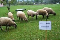 Ovce v Hutisku-Solanci chrání před útokem šelem síťový elektrický ohradník.