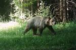 Medvěd zachycen fotopastí v okolí Smrku koncem června.