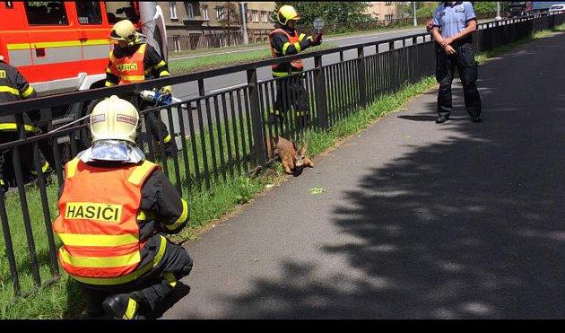 Srnce se hasičům podařilo vyprostit.