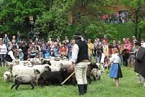 """V Košařiskách v sobotu zažili největší """"ovčí"""" slavnost v roce. Akce, které se v místním gorolském nářečí říká """"Miyszani Łowiec"""", přilákala v tradičním termínu stovky lidí."""