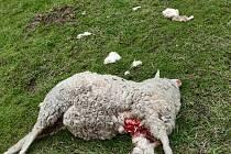 Téměř v centru obce Bystřice usmrtil v květnu v noci vlk jednu ovci.
