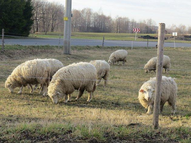 Mírná zima umožňuje pastvu ovcí.