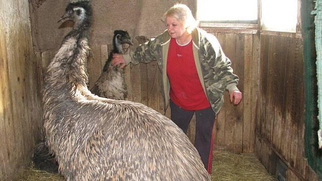 Manželé Zdeňka a Zdeněk Holečkovi chovají na své usedlosti kromě kamerunských koz i spousty dalších zvířat, včetně exotických papoušků a pštrosů.