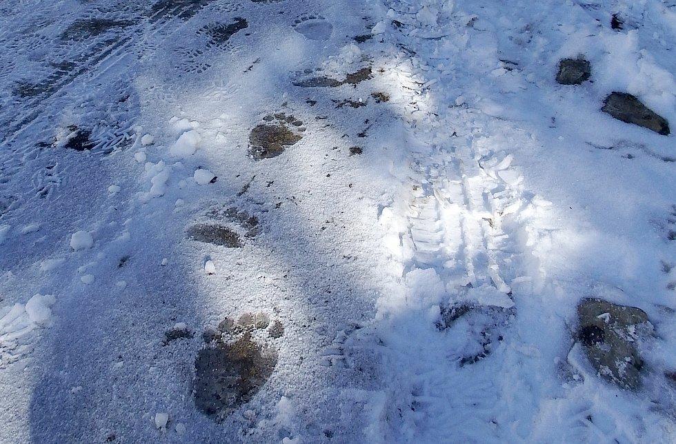 Stopy medvědice Emy v oblasti pod Lysou horou.
