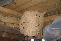 Jablunkovští hasiči museli likvidovat i toto hnízdo, které si sršni vybudovali na půdě.