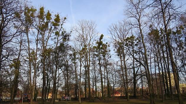 Tmavé koule nejsou vánoční ozdoby, ale jmelí. Tomu se v místeckých Sadech Bedřicha Smetany velmi daří.