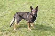Policejní pes Cherus pomohl při objasňování krádeže.