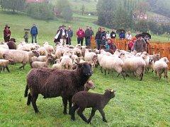 V Košařiskách nedaleko Jablunkova se v sobotu konalo tradiční vyhánění ovcí s názvem Miyszani Lowiec.