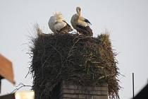 Čapí hnízda se často nacházejí i na komínech. Fotografie zachycuje staronové obyvatele školního komína v Kozlovicích. Čápi zde hnízdí pravidelně, letos přiletěli dříve než obvykle.