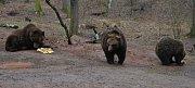 Buzení medvědů v zoo. Ilustrační foto.