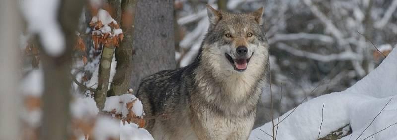 Vlk. Ilustrační foto.