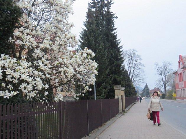 Rozkvetlá magnolie ve Frýdlantu nad Ostravicí.