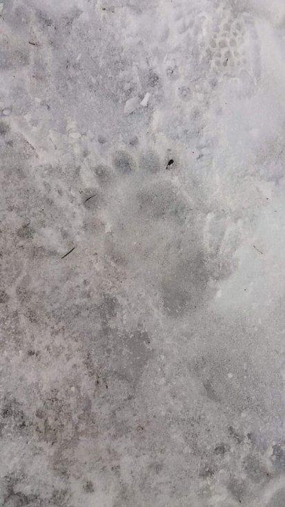 Medvědí stopy na cestě z Visalají na Šance.