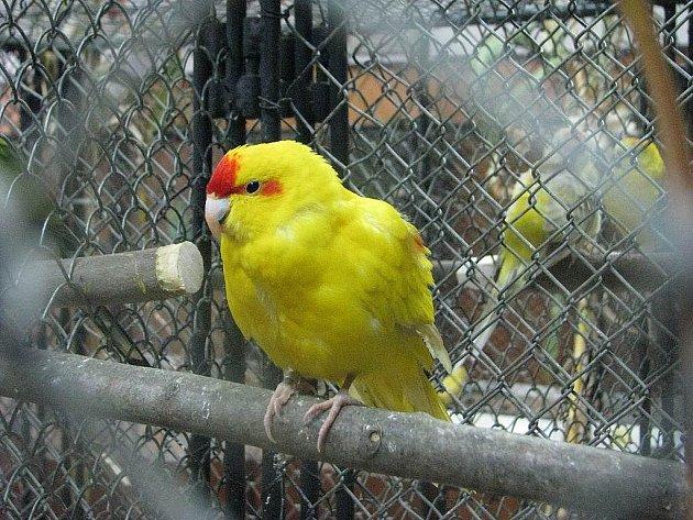 Chovatelé exotického a okrasného ptactva připravili tradiční výstavu, která je k vidění na Zámeckém náměstí ve Frýdku-Místku. I v sobotu 17. října si ji nenechalo ujít hodně lidí.
