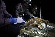 Medvěd dostal telemetrický obojek.