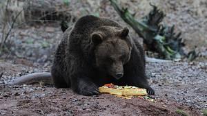 Chytání medvěda v Beskydech pokračuje