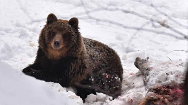 Medvěd hnědý v Beskydech.