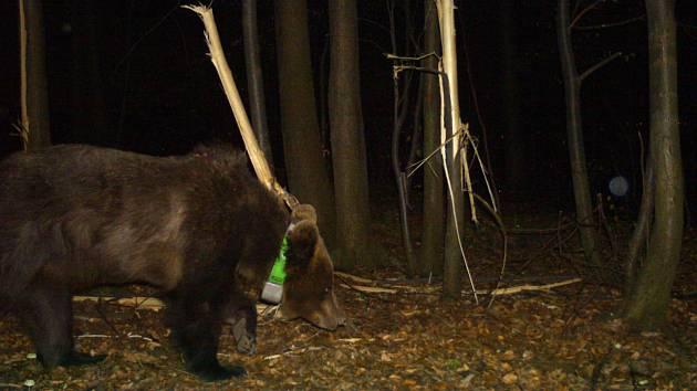 Fotografie sledované medvědice v Palkovických hůrkách, v pozadí poškozené lípy, jejichž lýkem se živila.